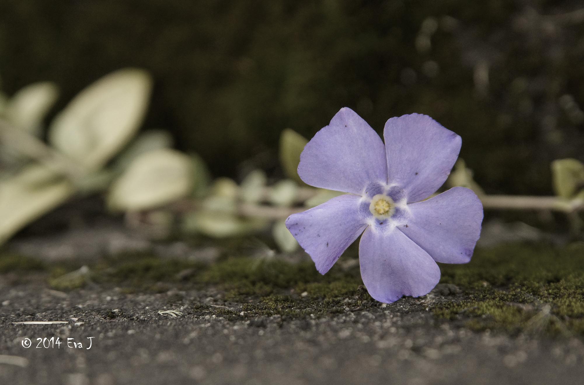 Blå Blomma